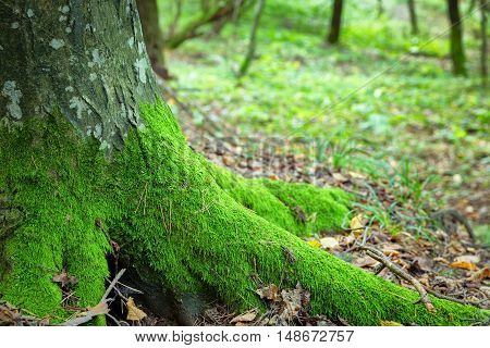Old nature mossy hornbeam trunk in the forest green ecology