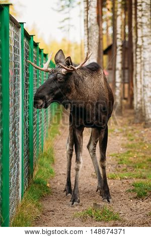 Wild male moose, elk in cage forest reserve. The moose or elk, Alces alces, is the largest extant species in the deer family.