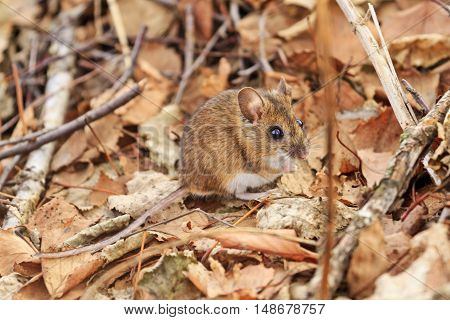 field mouse among autumn leaves, Striped field mouse, gold leaves