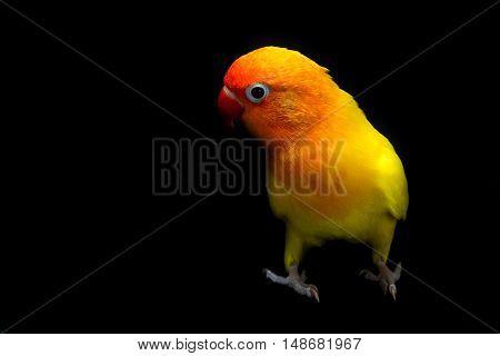 Double Yellow Lovebird, Bird