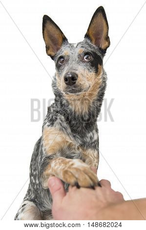Blue Heeler puppy shaking paw with funny look on its face