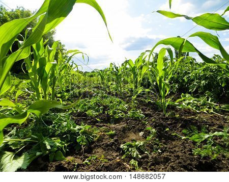 rows of the young corn on a field