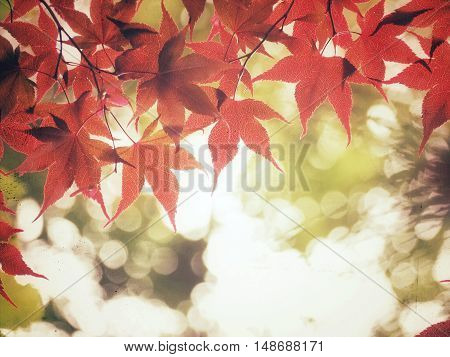 Japanese maple in Autumn with red leaves