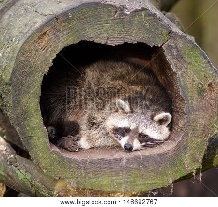 A raccoon lies in a hollow log and watches his environment