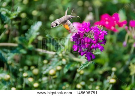 Hummingbird hawk-moth (Macroglossum stellatarum) with stretched proboscis full of pollen hovering over Verbena flower ready to feed on nectar.