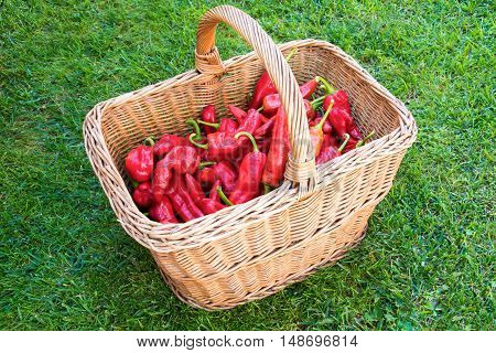 Organically grown red pepper in a basket made of twigs on a grass.
