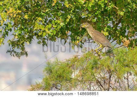 Juvenile night heron sitting on the tree