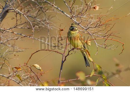 Cirl Bunting (Emberiza cirlus) sitting on the branch