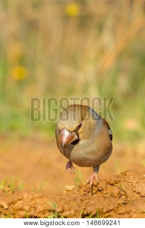 Hawfinch bird sitting on the ground (Coccothraustes coccothraustes)