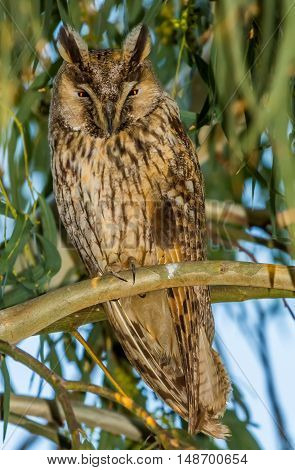 Long-eared Owl sitting on the tree