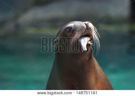 Sea lion with a fish hanging out of his mouth.