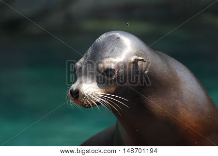 Really cute face of a sea lion pup out of the water.