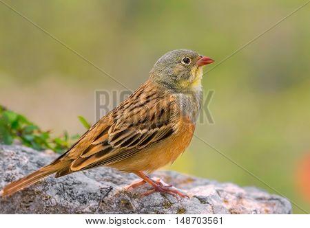 Ortolan Bunting (Emberiza hortulana) on the rock