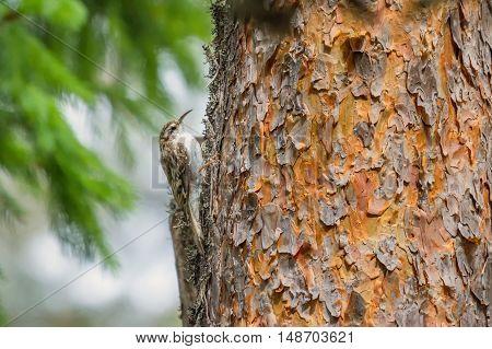 Eurasian Treecreeper Certhia familiaris sitting on the tree