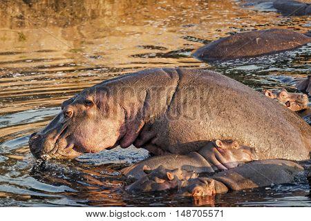 Pod of hippopotamuses (Hippopotamus amphibius kiboko) bathing in Mara River Masai Mara Kenya