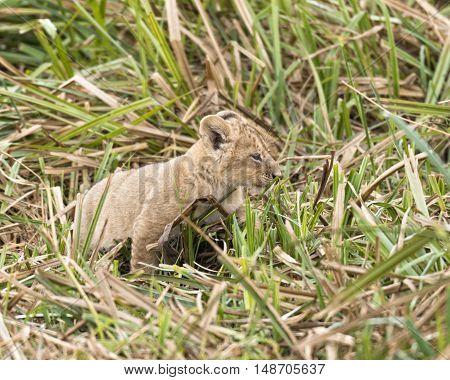 Newborn cub of African lion in long grass Masai Mara National Reserve Kenya Africa
