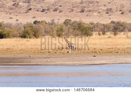 Giraffe From South Africa, Pilanesberg National Park. Africa