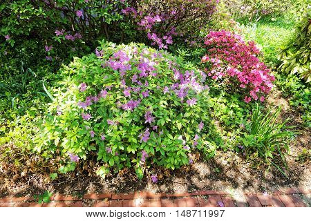 Bright Purple And Pink Bushes Of Flowers In The Park