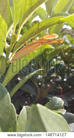 Brown Praying Mantis Sitting in the Lush Foliage