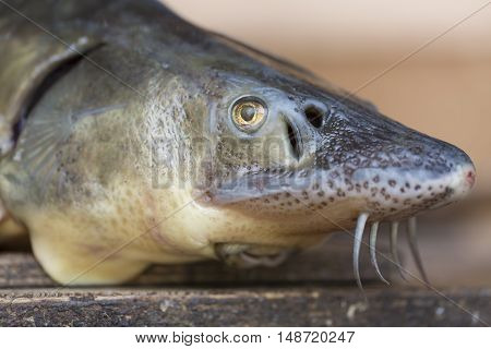Close up view of the fresh small sturgeon fish on black fishing net. Fresh starlet fish just taken from the water. Starlet is a small sturgeon, farmed and commercially fished for its flesh and caviar.