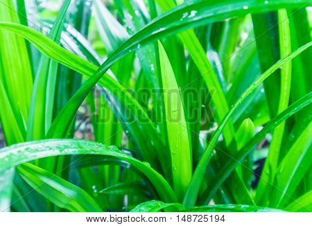 Closeup fresh green pandan on nature, raw material for make cooking