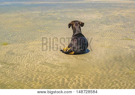Back view of orange and black colors dog sitting at wet sand at beach in Jericoacoara Brazil