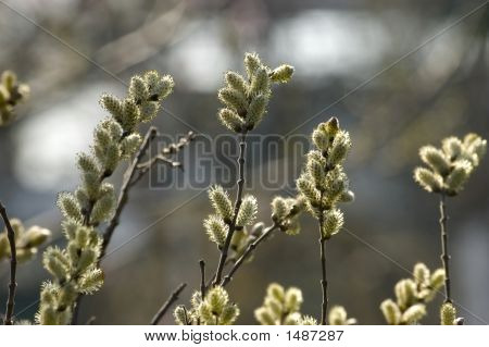 Spring Catkins
