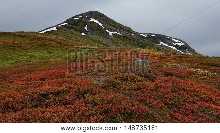 Red bilberry in the mountains of Norway.