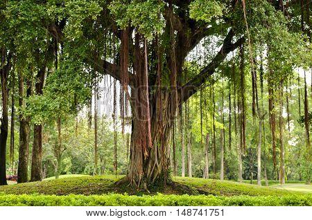 Big tree in park Bangkok Thailand, Hugh tree poster