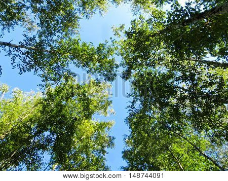 Looking up in a green birch forest