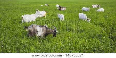 Goats On A Green Meadow
