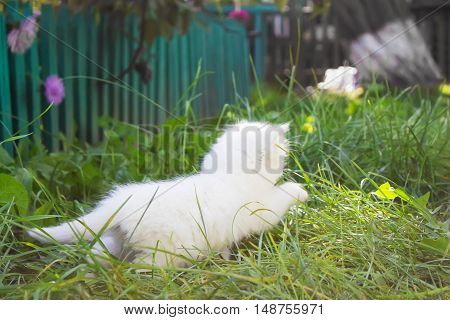 fleeing white fluffy kitten in the grass