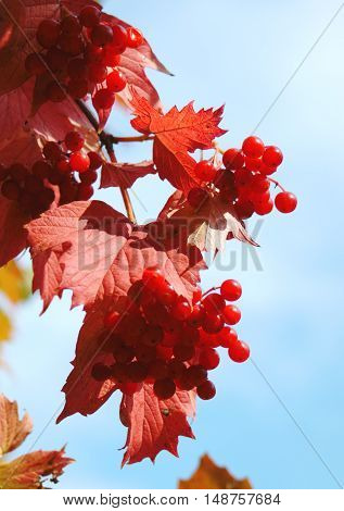 Viburnum bush branch with reddened leaves and berries (autumn coming red leaves red berries)