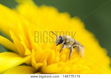 Close up of bee on bright yellow helianthus flower