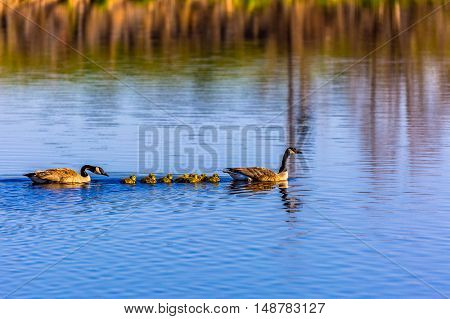 Family of Canadian geese out for a swim.
