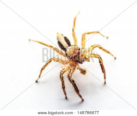 The spider jumping macro on white background