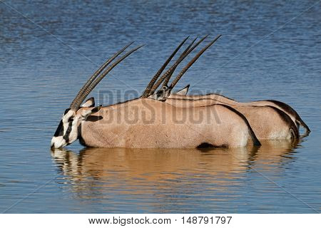 Gemsbok antelopes (Oryx gazella) wading in water, Etosha National Park, Namibia