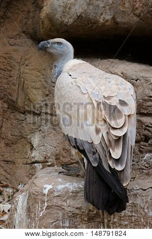 An endangered Cape vulture (Gyps coprotheres) sitting on rock ledge, South Africa