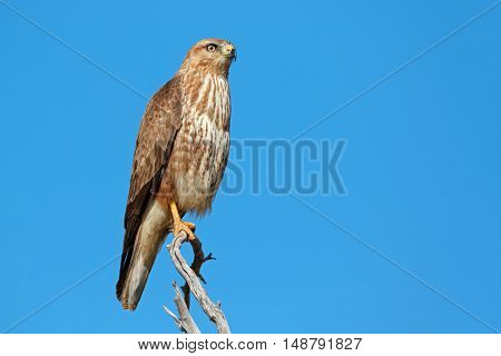 A Steppe buzzard (Buteo buteo) perched on a branch, South Africa