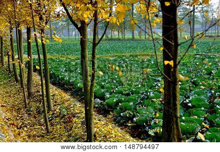 Pengzhou China - December 3 2009: Field of cabbages seen through a row of autumnal yellow-leaved Gingko trees lining a rural road