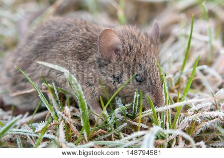 wild striped field mouse foraging on grass