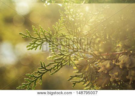 autumn nature background. Pretty autumn nature background.Evergreen arborvitae