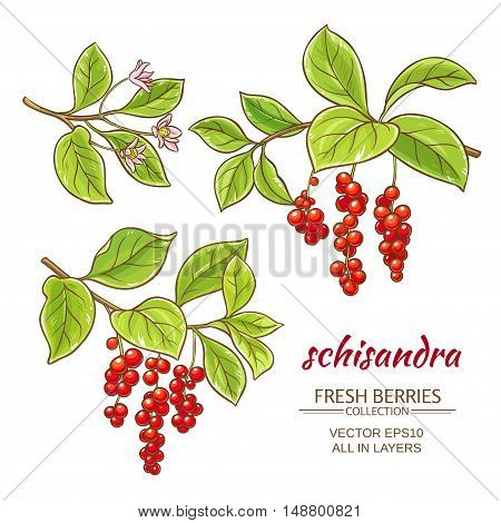 schisandra branches vector set on white background