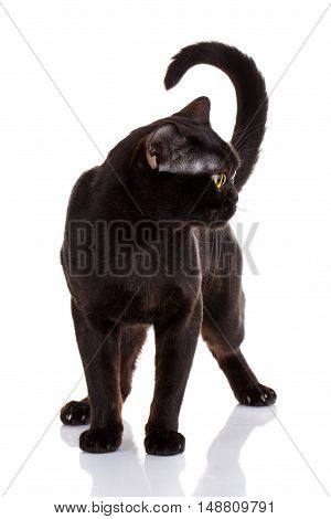 Bombay black cat with yellow eyes standing on a white background, looking to the side