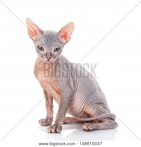 Closeup Portrait of Grumpy Sphynx Cat side view on white Background