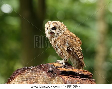 Close up of a Tawny Owl on a log in the woods