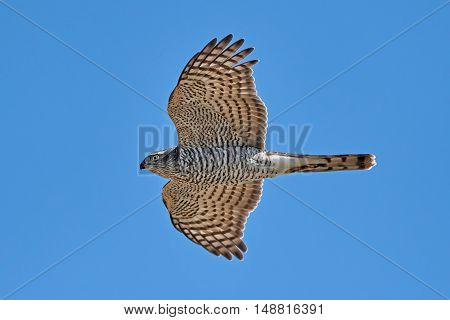 Eurasian sparrowhawk (Accipiter nisus) in flight with blue skies in the background