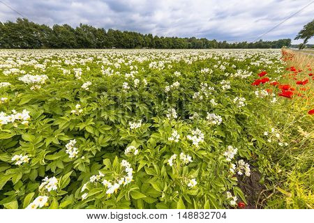Organic Potato Field Netherlands
