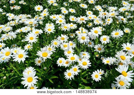 This is a large garden planted daisies, which are very much