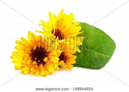 Marigold flowers or Calendula flower on white closeup. Calendula officinalis.